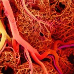 bloodvessels
