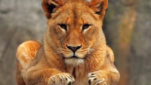 lionessfrontview
